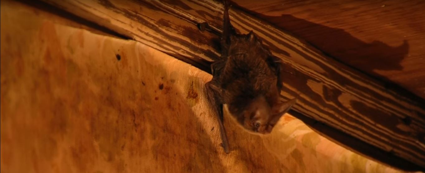 Before Starting The Process Of Cleaning Up Guano From Attic You Have To Clear California Bats First Then Seal All Entry Points